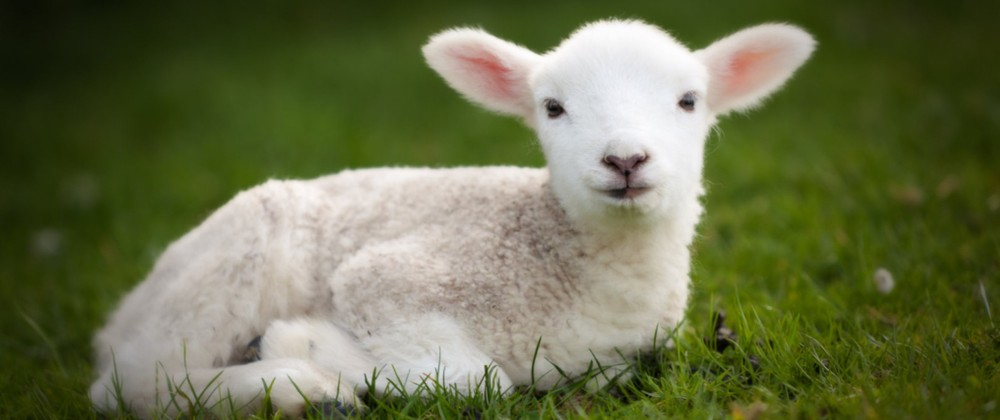 http://www.free-picture.net/albums/animals/sheep-and-goat/adorable-lamb-wallpaper.jpg