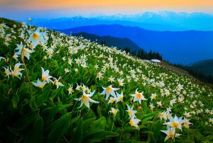 field-of-lilies